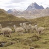 Alpacas On The Run In Huayhuash Cordillero - Andes Peru