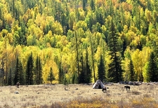 Alpine Forests On Kanas Lake Shoreline