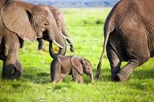 Amboseli Elephant Family