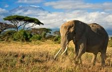 Amboseli Elephant
