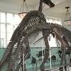 Anatotitan Fossil Skeletons
