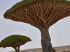 Ancient Dragon's Blood Trees