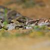An Indian Rock Python