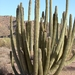 An Organ Pipe Cactus In The Monument.