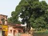 Antpur Bakul Tree