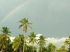 A Rainbow Adds To The Beauty Of Towering Coconut Trees In A Fiel