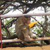 Arthur's Seat Monkey Lunch - Mahabaleshwar - Maharashtra - India