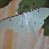 Asian Luna Moth