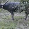 Asiatic Buffaloo In Pobitora