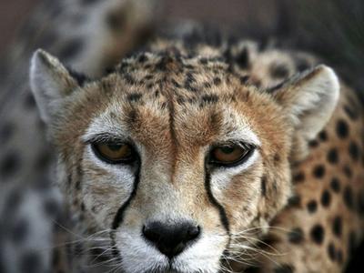 Asiatic Cheetah, Khar Turan National Park
