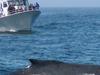 Atlantic Whale Watching