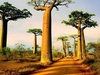 Avenue Of The Baobabs - Morondava - Madagascar