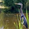 Avian Visitor - Redtail Golf Course BeavertonOR