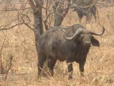 Buffalo In Mikumi National Park