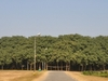 The Great Banyan Tree As A Whole