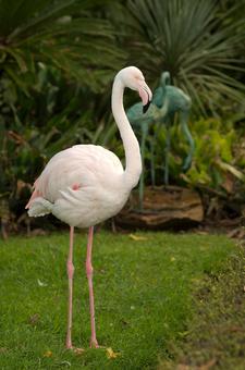Adelaide Zoo Flamingo