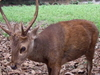 Bawean Deer Are Endemic To The Island