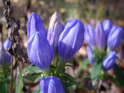 Alabama Gentians In Talladega National Forest