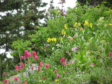 Albion Basin Wildflowers