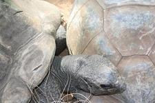 Aldabra Giant Tortoises Mitchell Park