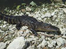 Juvenile Alligator At Shark Valley