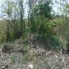 Alligator Nest Between Two Murtle Trees