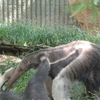 Giant Anteaters Playing At Zoo