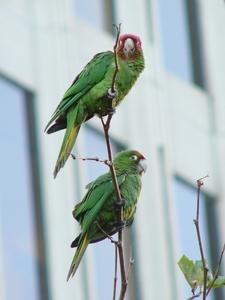 Feral Parrots Of Telegraph Hill