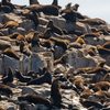 Australian Fur Seals Hauling Out At The Island