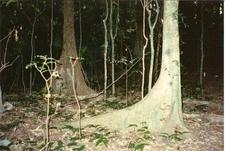 Argyrodendron Actinophyllum And Argyrodendron Trifoliolatum