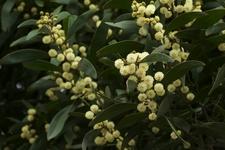 Australian Blackwood