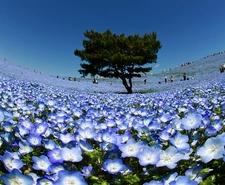 Baby Blue Eyes Flowers