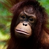 Baby Chimpanzee In Kuala Lumpur Zoo Negara