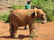 Baby Elephant With Handler