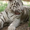 White Tiger - Bannerghatta National Park