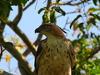 Beautiful Bird (Mountain Hawk Eagle) In Habarana - Sri Lanka.