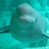 A Beluga In L'Oceanografic.
