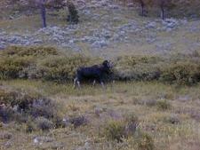 Big Moose Gallatin