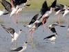 Birds Chilika