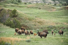 Bison Herd In Badlands - North Dakota