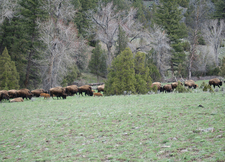 Bison On Yellowstone - Black Canyon Trail