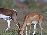 Blackbuck National Park, Velavadar