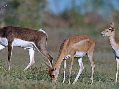 Blackbuck National Park - Male/female