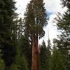 Black Mountain Sequoia Grove Perseverance