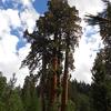 Black Mountain Sequoia Grove The Four Horsemen
