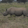 Black Rhino Lake Nakuru