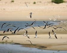 Black Skimmers - Rynchops Niger - Oregon Inlet NC Outer Banks