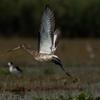 Black Tailed Godwit At Chilika 'Ramsar Site'