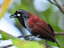 Black Throated Babbler