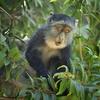 Blue Monkey In Tanzania